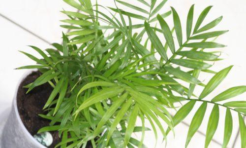 Бамбуковая пальма уход и выращивание в домашних условиях