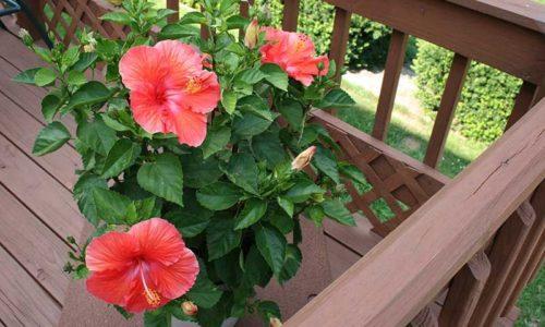 Комнатный цветок Гибискус - уход в домашних условиях