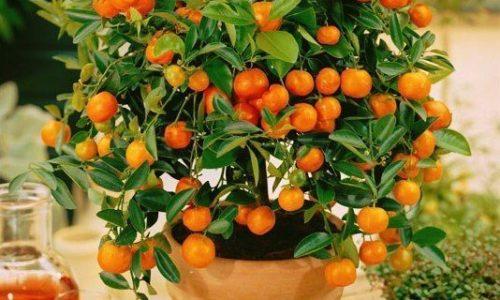 Мандариновое дерево - выращивание и уход