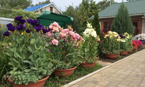 Цветок Лизиантус