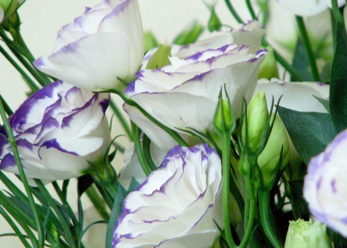 Лизиантус белый киото
