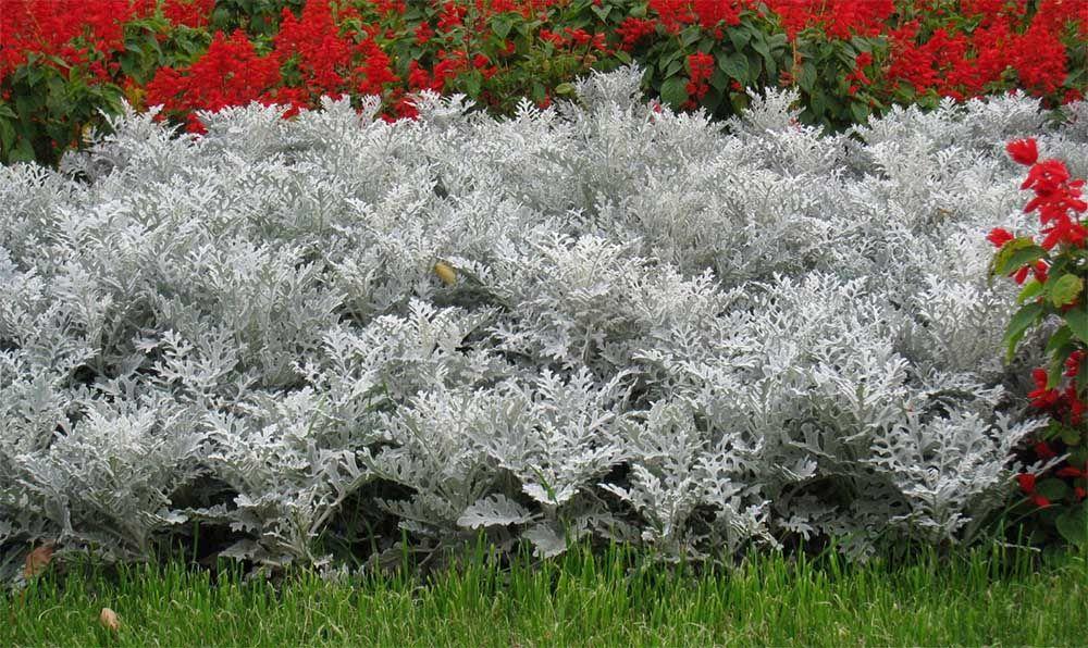 Цветы цинерария