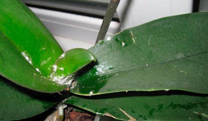 Мучнистый червец на орхидее как избавиться