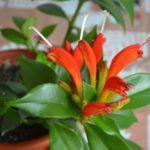 Эсхинантус — уход в домашних условиях