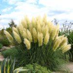 Пампасная трава выращивание без усилий