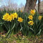 Нарциссы посадка и уход за цветами