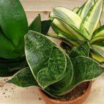 Сансевиерия уход за растением в домашних условиях