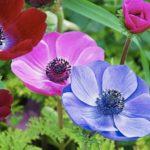 Анемоны посадка и уход за цветами