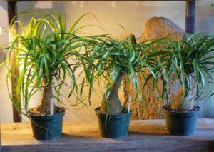 Растения Нолина
