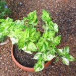 Педилантус уход за растением