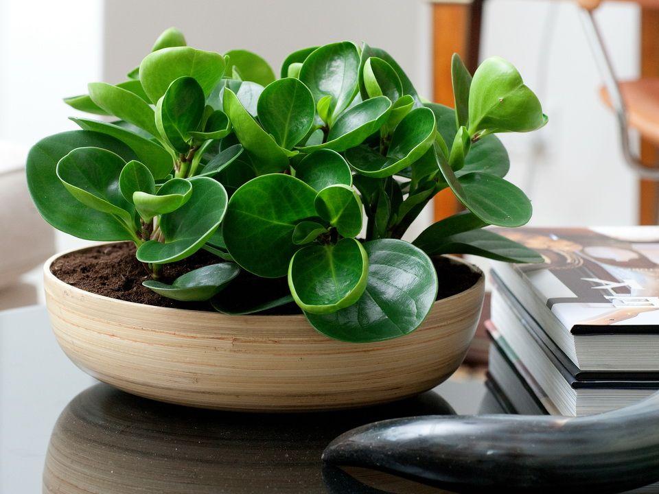 расскажем тенелюбивые домашние растения фото и названия такие свечи ванной