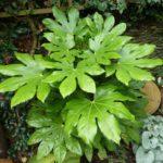 Фатсия японская — уход за растением