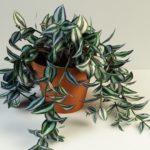 Традесканция уход за растением в домашних условиях