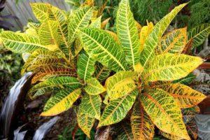 Кротон уход за растением в домашних условиях