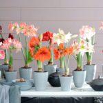 Гиппеаструм уход за цветком в домашних условиях