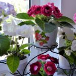 Глоксиния уход в домашних условиях