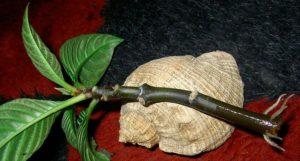 Афеландра черенок