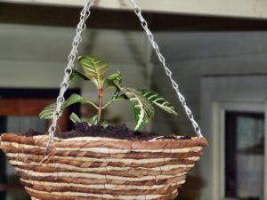 Афеландра уход в домашних условиях