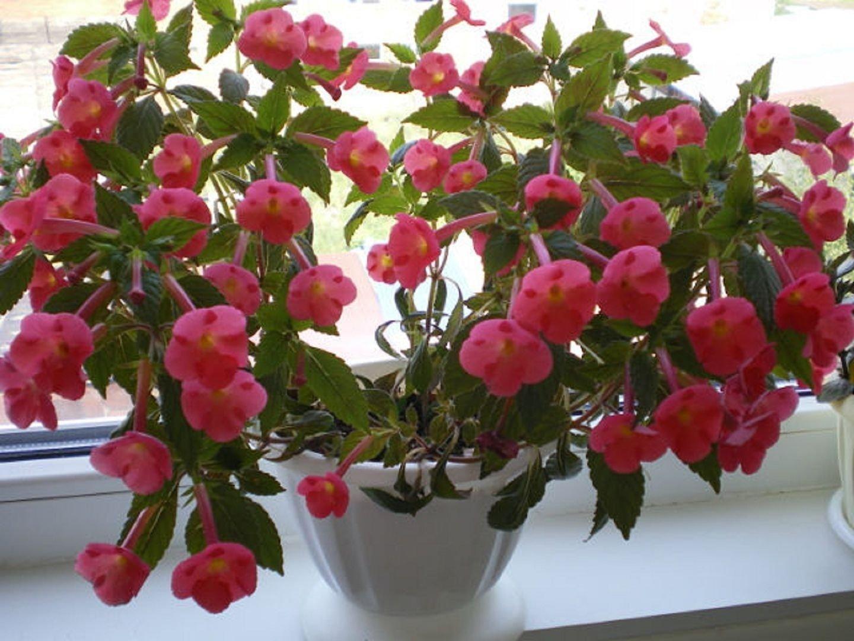 Ахименес уход и выращивание