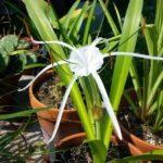 Гименокаллис уход и выращивание