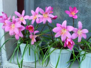 Зефирантес уход за цветком