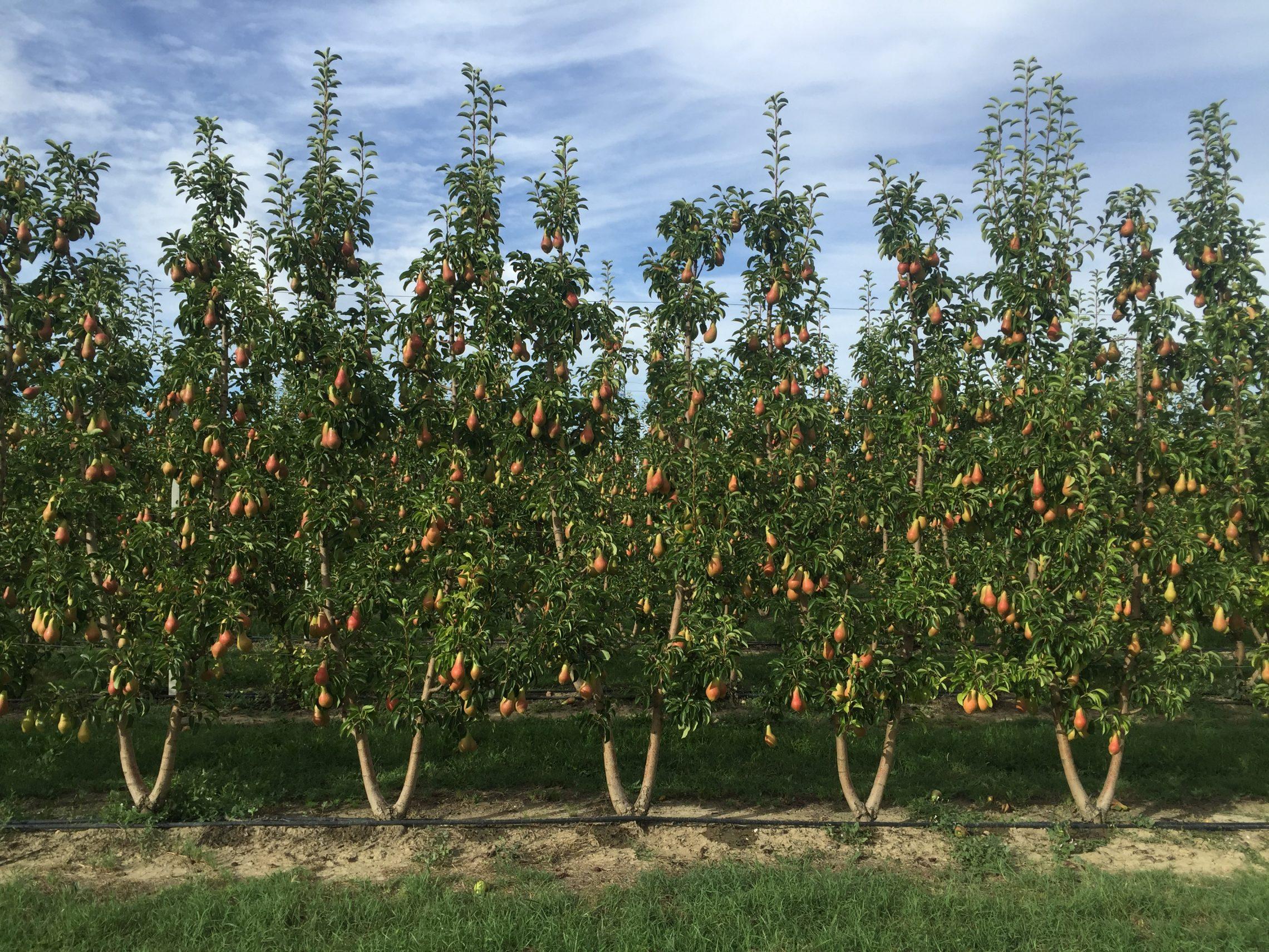 Колоновидные плодовые груши