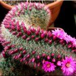 Цветущие комнатные кактусы с фото и названиями