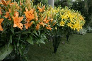 Лилии в ландшафтном дизайне сада